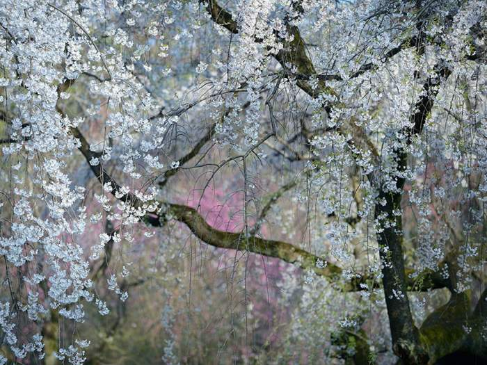 arbol-cerezas-national-geographic